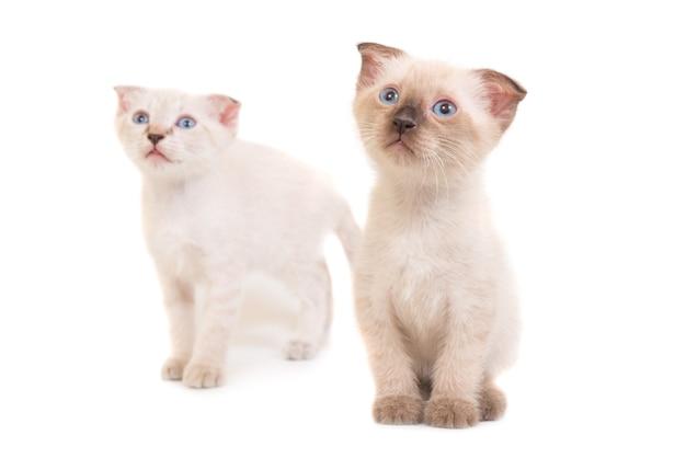 Due gattini di razza seduta isolati su priorità bassa bianca. foto in studio