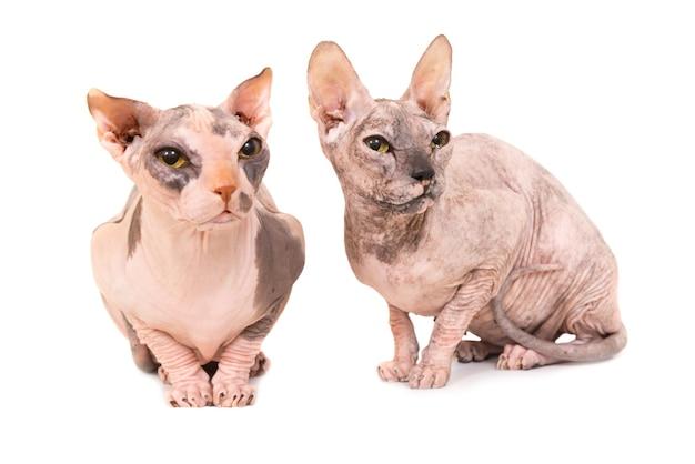 Due gatti di razza sfinge di seduta isolati su priorità bassa bianca. studio shot della razza levkoy ucraino