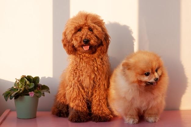 Due cani di piccola taglia, un barboncino in miniatura di colore rosso bruno e un pomerania di colore arancione, siedono su una superficie rosa contro un muro bianco. luce forte.