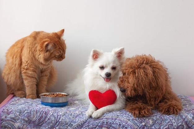 Due cani di piccola taglia, un pomerania bianco e un barboncino in miniatura marrone rosso, sono sdraiati sulla lettiera, un gatto rosso è seduto accanto a una ciotola di cibo e li guarda. il cane bianco tiene tra le zampe un cuore giocattolo rosso.