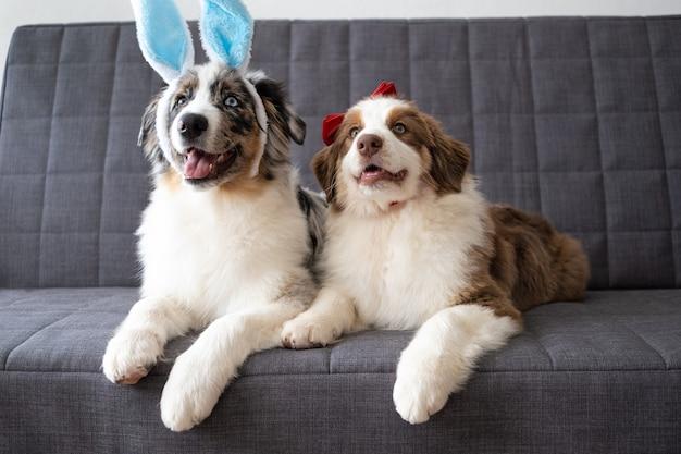 Due piccoli divertenti simpatici pastori australiani blue merle cucciolo di cane indossando le orecchie del coniglietto. arco rosso. pasqua. rosso tre colori.