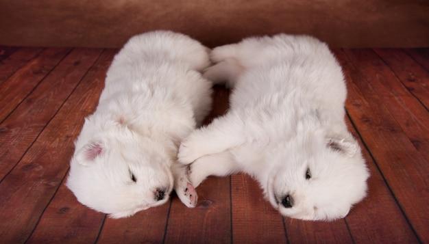 Due simpatici cuccioli di samoiedo bianco di un mese di età
