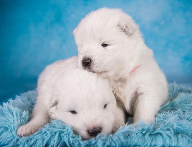 Due piccoli cuccioli di samoiedo bianchi di un mese