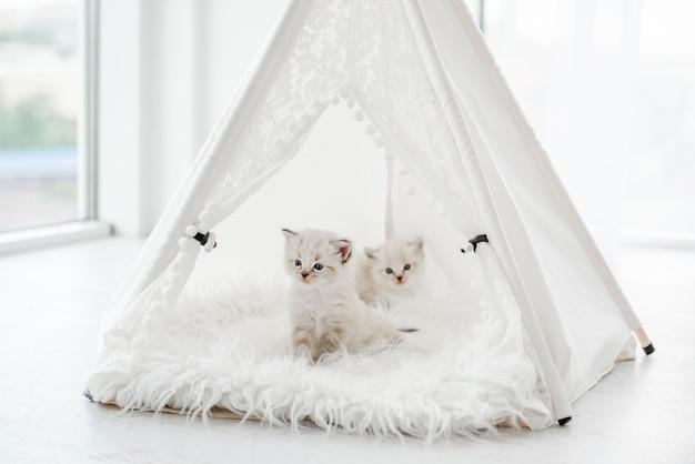 Due piccoli gattini ragdoll seduti all'interno di una tenda bianca sulla pelliccia. adorabili gattini di razza durante il servizio fotografico in studio