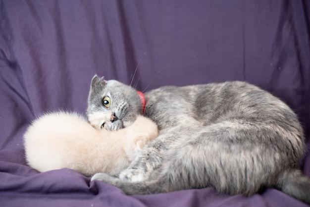 Due piccoli cuccioli di gatto scottish fold accanto a ir mor color latte e grigio