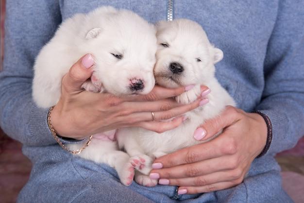 Due piccoli cuccioli di samoiedo bianco di due settimane sulle mani