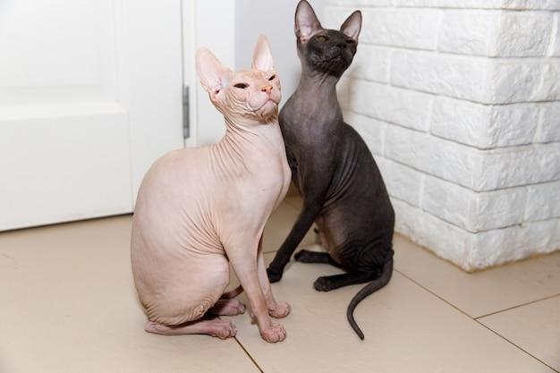 Due gatti sfingi seduti a casa sul pavimento