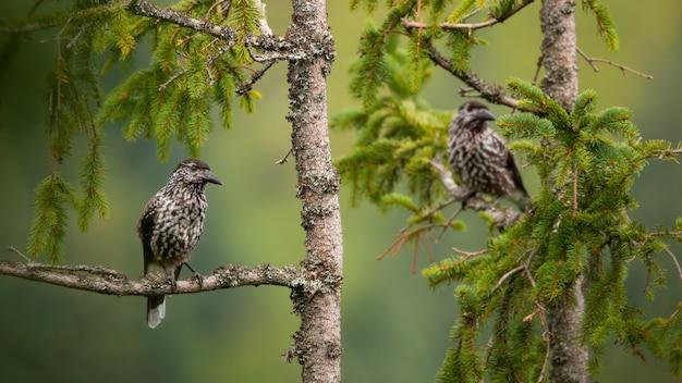 Due schiaccianoci maculati seduti sulla cima di un albero in estate