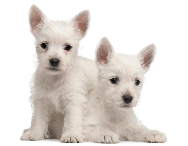 Due cuccioli di west highland terrier, 7 settimane,