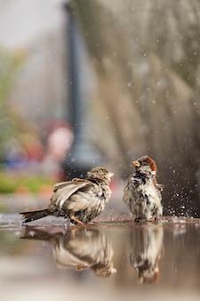 Due passeri bagnati fanno il bagno in acqua in una calda giornata estiva