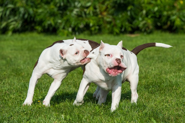 Due cani cuccioli white american bully stanno giocando in movimento sulla natura sull'erba verde.