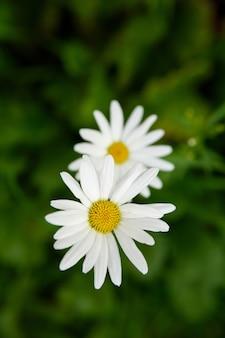 Due fiori margherita bianchi sul fogliame verde