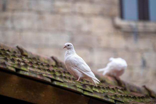 Una colomba bianca due che si siede sulle vecchie mattonelle di tetto in un paesino di montagna