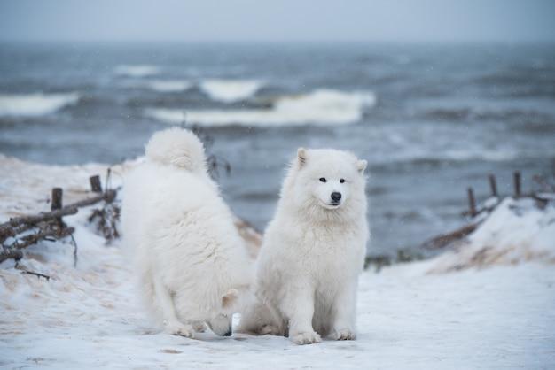 Due bianchi lanuginosi cani samoiedo sono sulla neve spiaggia del mar baltico di carnikova in lettonia