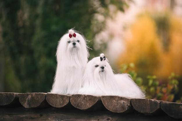 Due cani maltesi bianchi sul ponte in autunno