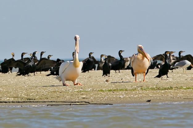 Due pellicani bianchi riposano sulla riva in un branco di cormorani