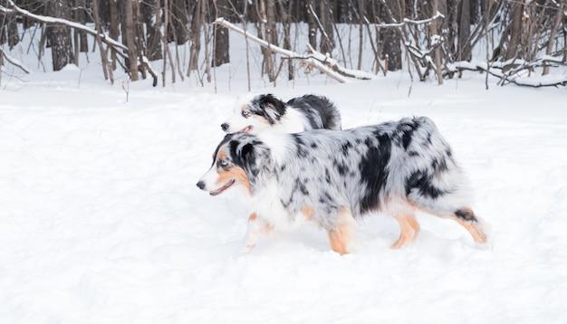 Pastore australiano di due giovani bei merle che corrono insieme nella foresta di inverno. cane nella neve.