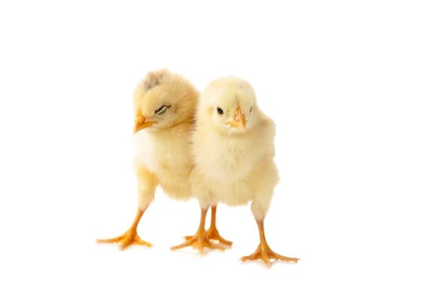 Due giovani pulcini - polli isolati su bianco. vista dall'alto