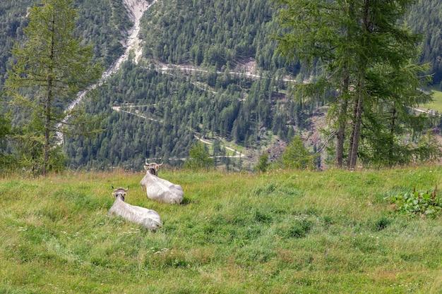 Due giovani mucche giacciono in un prato e ammirano il paesaggio delle alpi italiane.