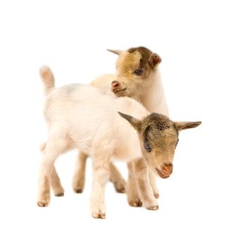 Due giovani capre pigmee isolate, queste foto sono state scattate in benin, la loro colorazione rossa proviene dall'argilla locale come polvere.