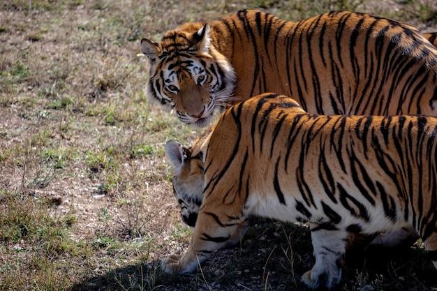 Due giovani tigri stanno camminando uno accanto all'altro. uno è rivolto verso di noi. il secondo è girato di lato. parco taigan