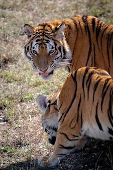Due giovani tigri stanno camminando uno accanto all'altro. uno è rivolto verso di noi. il secondo è girato di lato.