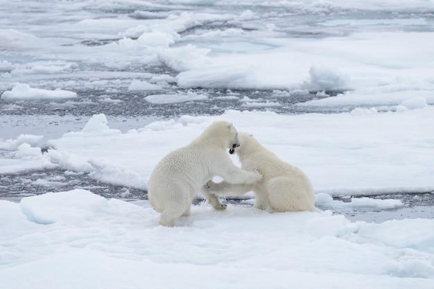 Due giovani orsi polari selvaggi che giocano sul ghiaccio del pacco in mare glaciale artico