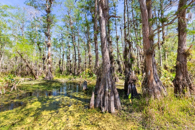 Tipica foresta di cipressi nel parco nazionale delle everglades, florida