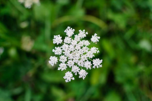 Infiorescenza ombelicale di fiori bianchi su una macro di sfondo sfocato