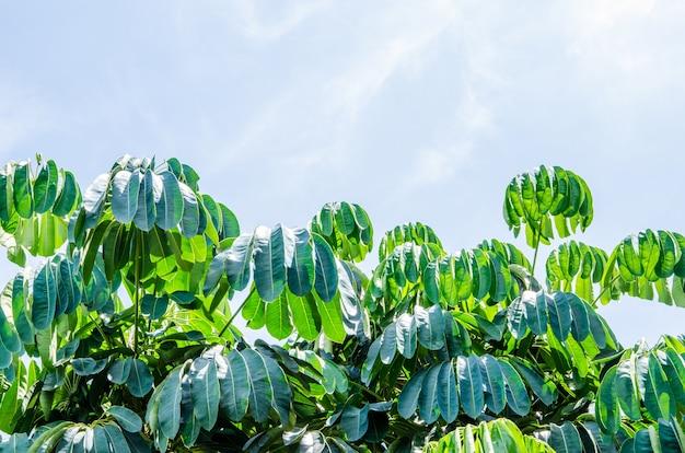 Albero dell'ombrello, albero di polpo, foglia verde sullo sfondo del cielo blu
