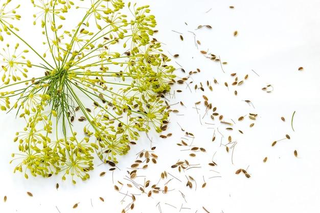 Ombrelloni di aneto (finocchio) con semi su una parete bianca