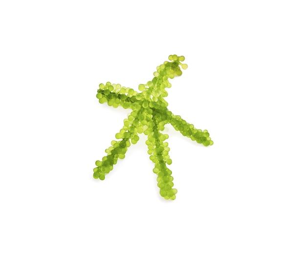 Umi-budou, alghe dell'uva o caviale verde isolato