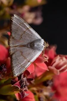 Falena sottoterra della specie eulepidotis deiliniaria in una pianta fiorita