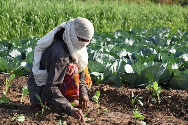 Lavoratore agricolo indiano non identificato che pianta cavolo in campo e che tiene mazzo di piccola pianta di cavolo nelle mani presso l'azienda agricola biologica.