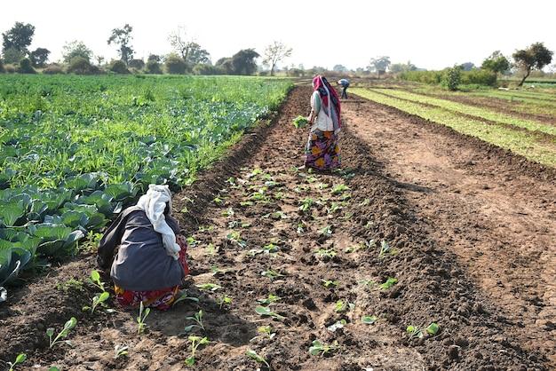 Lavoratore agricolo indiano non identificato che pianta cavolo nel campo e che tiene mazzo di piccola pianta di cavolo nelle mani presso l'azienda agricola biologica.