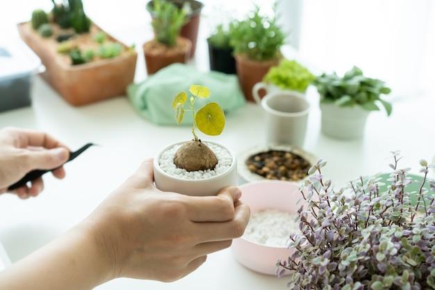 Donna asiatica irriconoscibile che pianta una piccola stephania erecta craib in un vaso di argilla da vicino. piantare piante da appartamento di piccole dimensioni come attività di svago e hobby delle persone che vivono in città. zen come pianta.