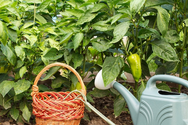 Peperoni dolci non maturi che crescono sul cespuglio con un cesto di vimini, annaffiatoio e rastrello a mano.