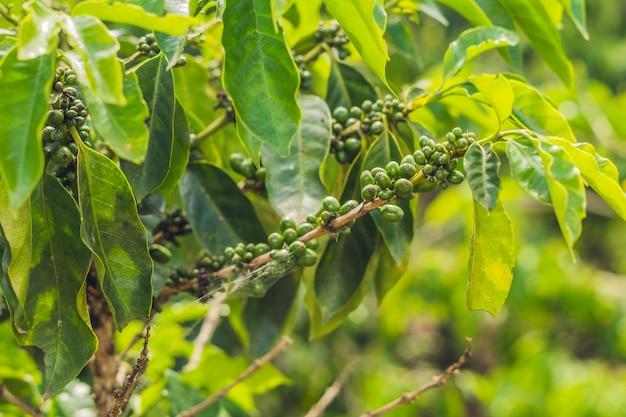 Chicchi di caffè acerbi sullo stelo nella piantagione del vietnam