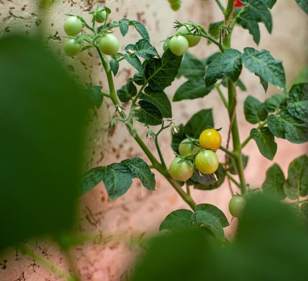 Pomodorini acerbi e maturi che crescono sul davanzale. mini verdure fresche nella serra su un ramo con frutti verdi. giovani frutti sul cespuglio. frutti gialli di pomodori su un ramo