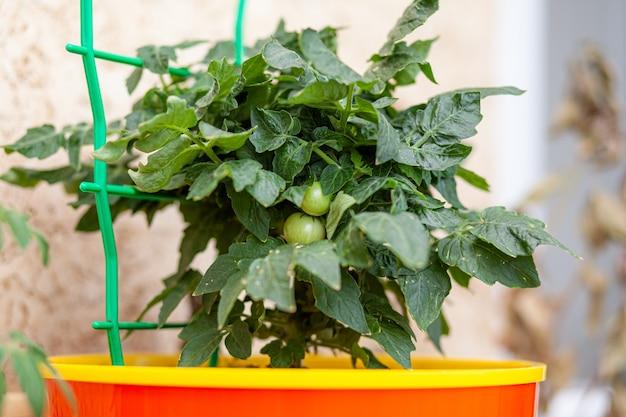 Piccoli pomodori acerbi che crescono sul davanzale. mini verdure fresche nella serra su un ramo con i frutti verdi. l'arbusto verdure immature su steli. giovani frutti sul cespuglio.