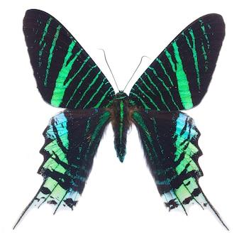 Urania leilus farfalla isolata su bianco