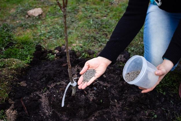 Utilizzo del fertilizzante organico naturale sapropel in agricoltura e giardinaggio per fornire nutrienti alle piante essenziali per la crescita di giovani alberi di pere e meli