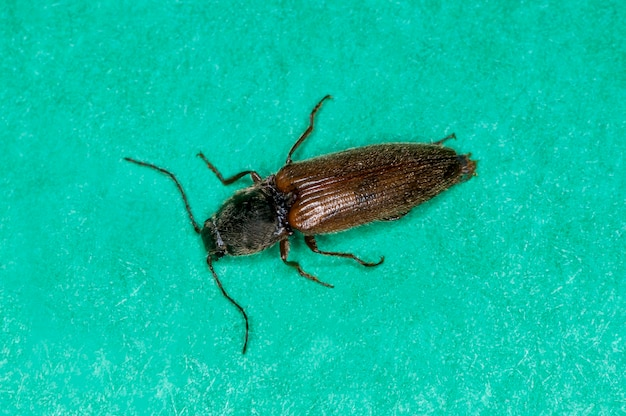 Vadnais heights, minnesota. fare clic su beetle, specie melanotus su sfondo verde.