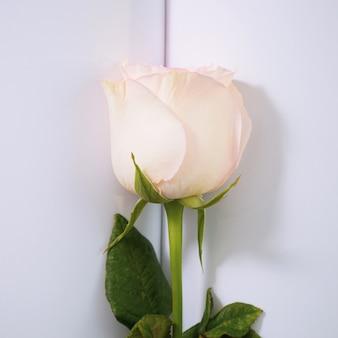 San valentino sfondo. rose rosa su sfondo di carta