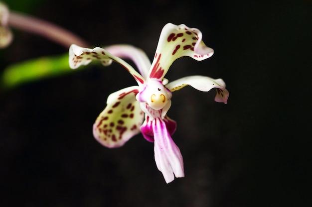 Vanda tricolore, specie di orchidea tropicale, endemica delle pendici del monte merapi yogyakarta, indonesia