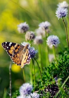 La vanessa cardui è una farfalla europea ed è famosa per i suoi colori vivaci e vari.