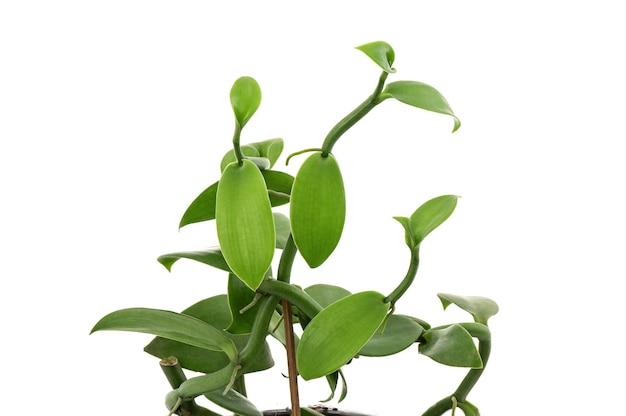 Foglie verdi del ramo della vaniglia isolate su fondo bianco.