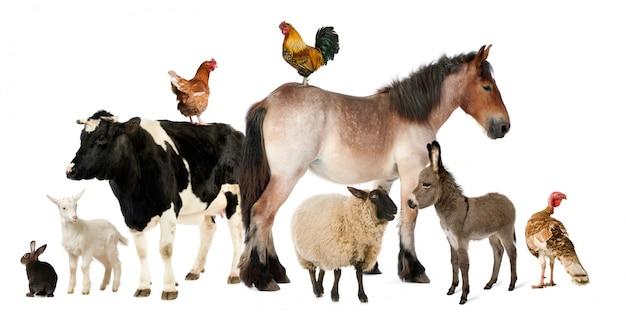 Varietà di animali da allevamento davanti a fondo bianco