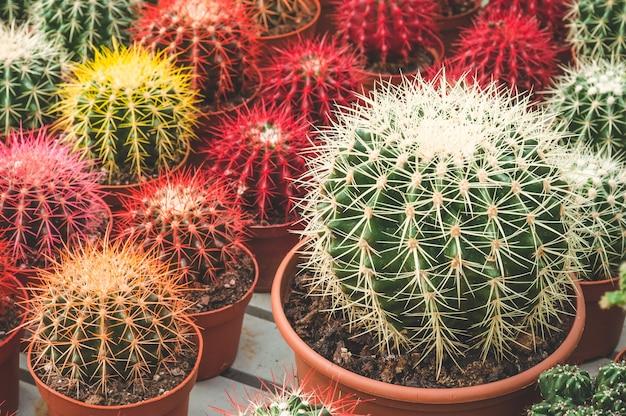 Varie piante di cactus colorati in una serra. vari cactus sullo scaffale del negozio. piccoli cactus decorativi in piccoli vasi di diversi tipi.