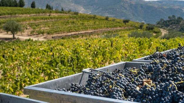 Tini con uva alla vendemmia per l'industria del vino